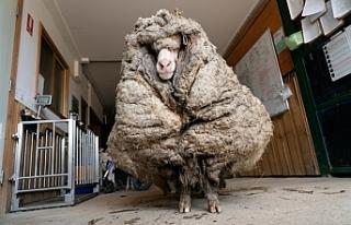 Avustralya'da 5 yıldır doğada yaşayan koyundan...