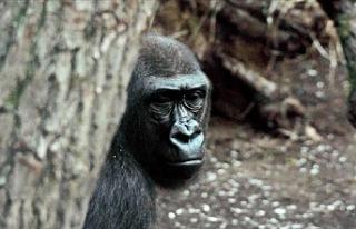 Hayvanat bahçesindeki goriller Covid 19'a yakalandı
