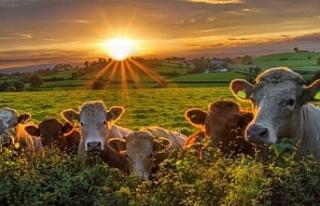 Hollanda, azot salımını azaltmak için çiftlik...