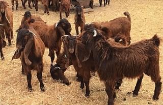 Kasaplık hayvan satışı ile ilgili duyuru