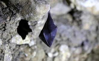 Çinli bilim insanları yarasalarda 24 yeni koronavirüs tipi keşfetti