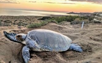 Deniz Kaplumbağalarını Koruma Projesi için gönüllüler aranıyor