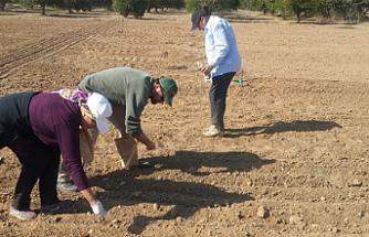Kıbrıs koşullarına uygun iki arpa çeşidi 2020'de ekilebilecek