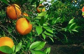 Limon, grapefruit, yafa ve washington alımı için müracaat