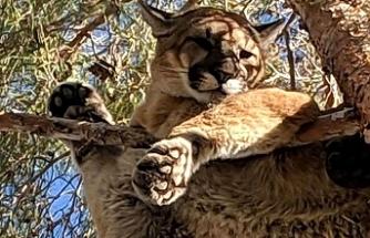 Şehre gelip ağaca çıkan dağ aslanı operasyonla indirildi