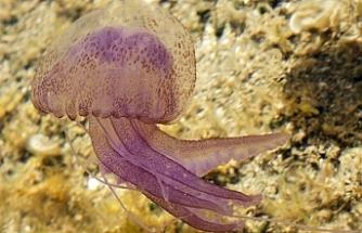 Hayvancılık Dairesi'nden denizanası uyarısı