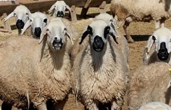 Devlet Üretme Çiftliklerinde hayvan satışı yapılacak