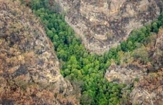 Avustralya'da Wollemi çamlarının bulunduğu vadi yangından kurtarıldı