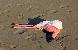 Larnaka'daki Tuz Gölü'nde flamingolar ölü bulundu
