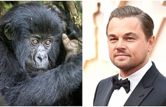 Leonardo DiCaprio'dan Afrika'daki gorillere yardım