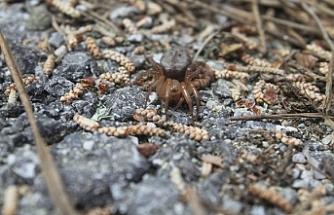 """Kıbrıs'a özgü yeni bir örümcek türüne Kıbrıslı biyolog Göçmen'in adına atfen """"Lachesana bayramgocmeni"""" ismi verildi"""