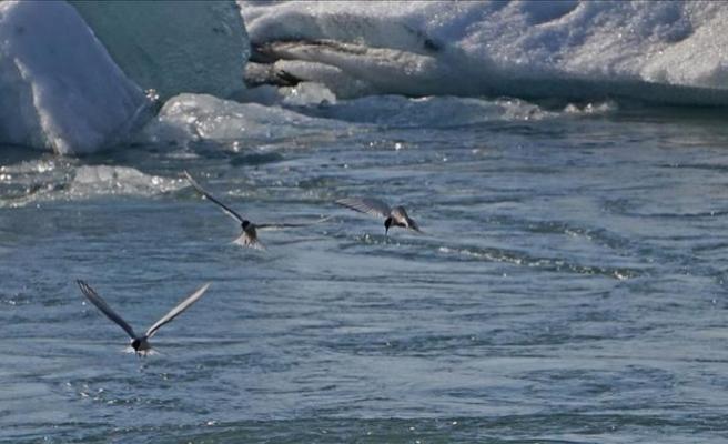 Kuzey Kutup bölgesi kuşlar için artık güvenli liman değil