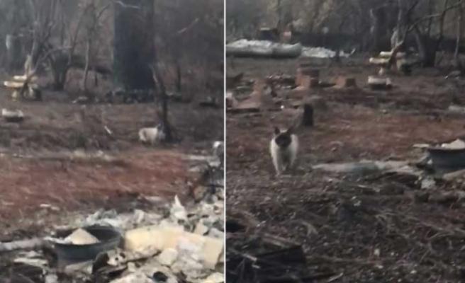 Kaliforniya yangınında öldüğü zannedilen kedi, yıkıntıların arasında bulundu