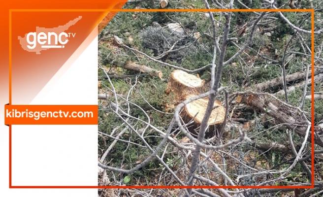 Bufavento yolunda ağaçlar kesildi