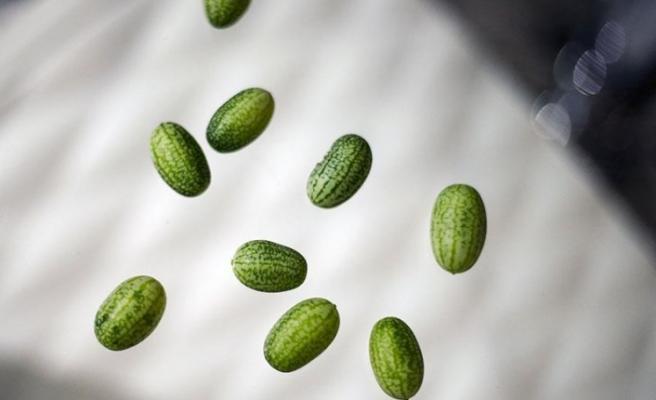 Zeytin büyüklüğünde karpuz üretildi