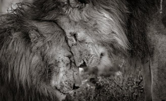 Yılın Vahşi Yaşam Fotoğrafı: 'Aslan kardeşlerin bağı'