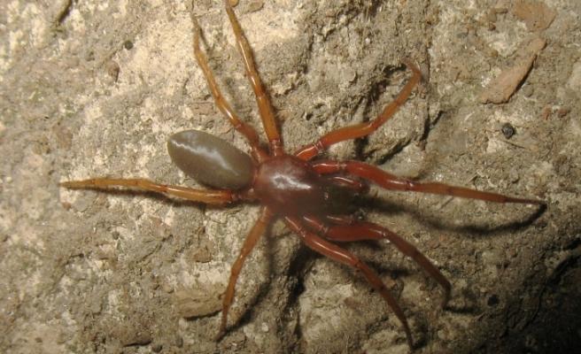Kıbrıs'ta dünya için 2 yeni örümcek türü keşfedildi