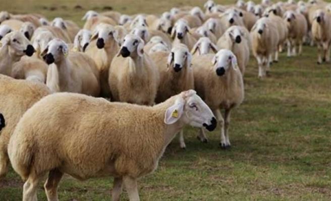 Kasaplık hayvan satışı yapılacak