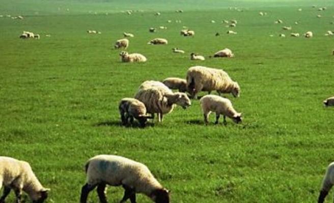 Çekirgeler için ilaçlama yapılan bölgede hayvan otlatma ve hasat artık güvenli