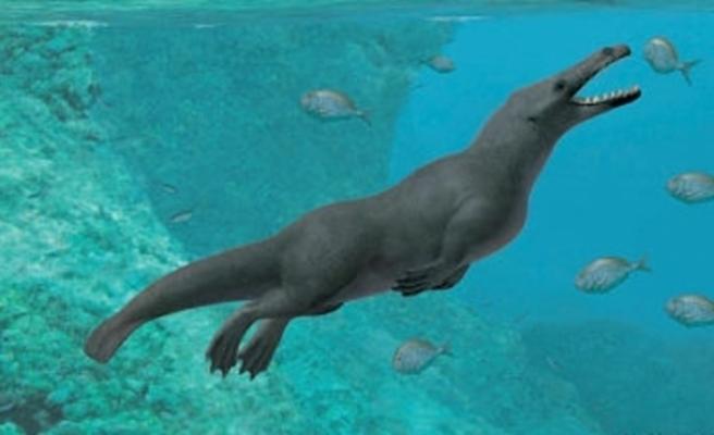 Peru'da 43 milyon yıllık dört bacaklı balina fosili bulundu
