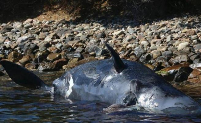 Plastik öldürmeye devam ediyor: Yeni kurbanı, hamile balina