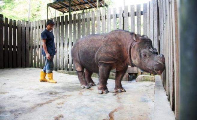Malezya'nın yaşayan son erkek Sumatra gergedanı öldü