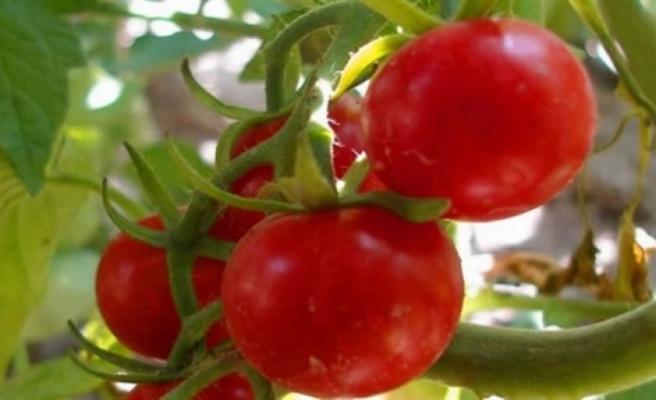 Yeşilköy'de domates güvesi  ile biyoteknik mücadele konulu uygulamalı eğitim verilecek