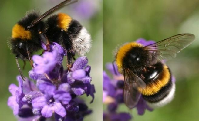 Seralarında bombus arısı kullananlara ödeme yapıldı