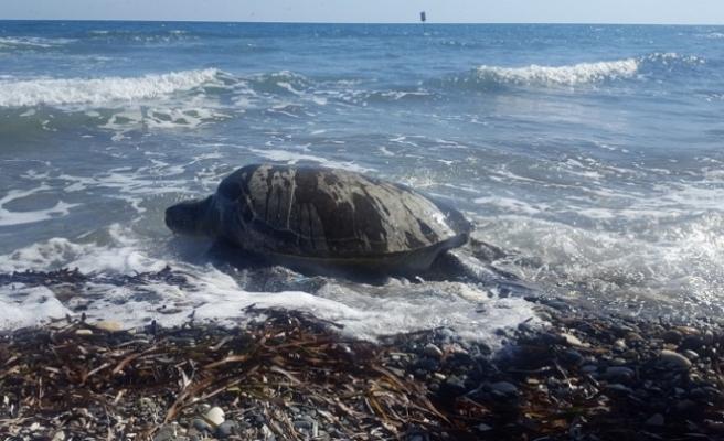 Deniz kaplumbağalarını koruma programına engel oldular