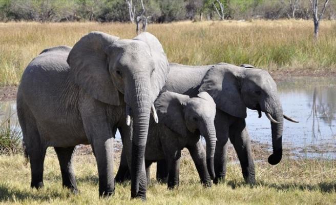 Afrika fillerinin hayvanat bahçelerine getirilmeleri yasaklandı