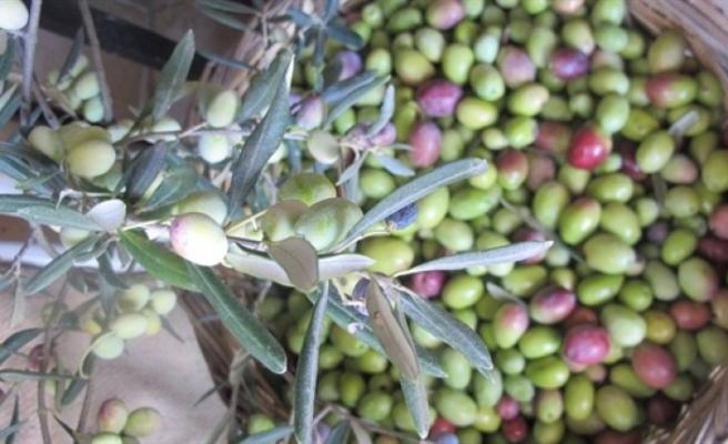 Güzelyurt'ta hasat tarihi açıklandı