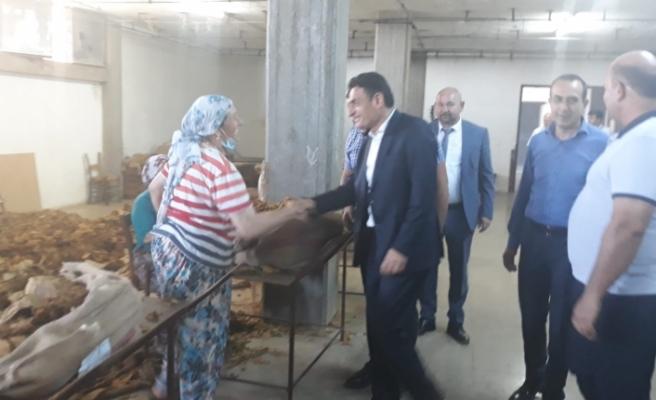 Karpaz'da tütün üretimi yeniden başlıyor