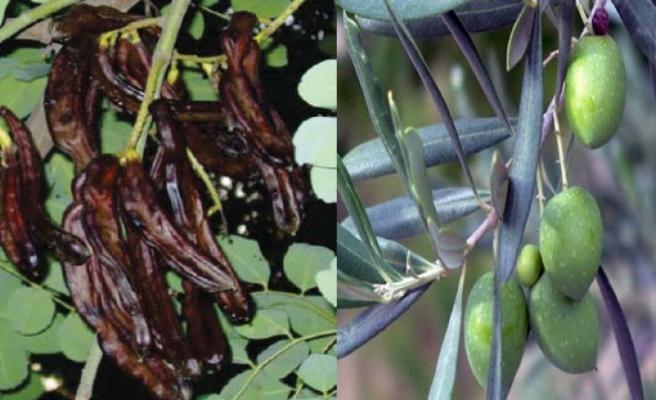 Lefkoşa bölgesinde zeytin ve harnup hasadına başlama tarihleri açıklandı