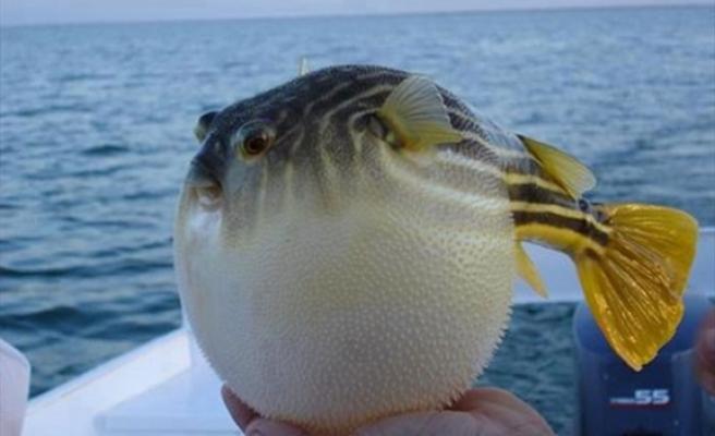 Balon Balığı teslim eden 49 balıkçıya 37 bin tl ödeme yapıldı