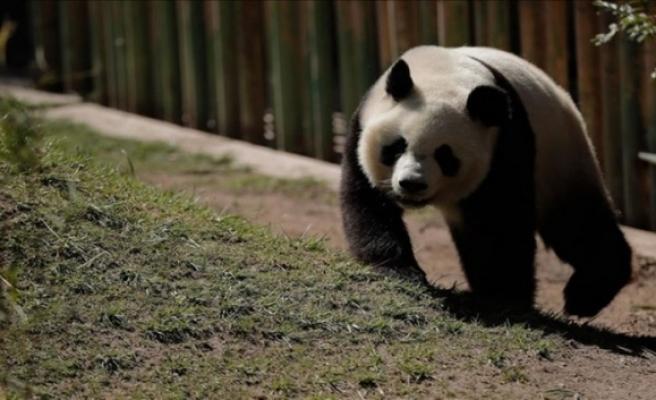 Çin'de panda ziyaretine sınırlama