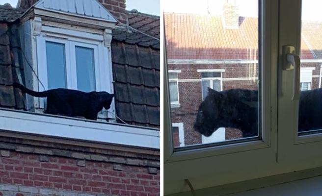 Fransa: Polis önce şaka zannetti, sonra çatıda dolaşan panteri yakaladı