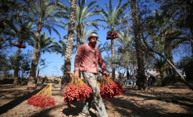 Gazze'de hurma hasadı