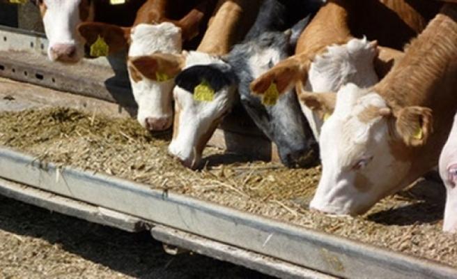 Hayvancılık Dairesinden aflatoksin uyarısı
