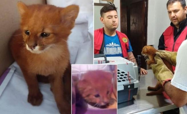 'Kedi yavruları' sanıp evde beslediği hayvanlar puma çıktı
