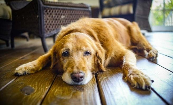 Köpeklerin yaşını hesaplamak için yeni formül