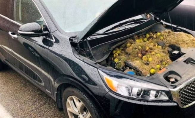 Sincaplar, kış için topladıkları bütün cevizleri arabanın kaputunda sakladı