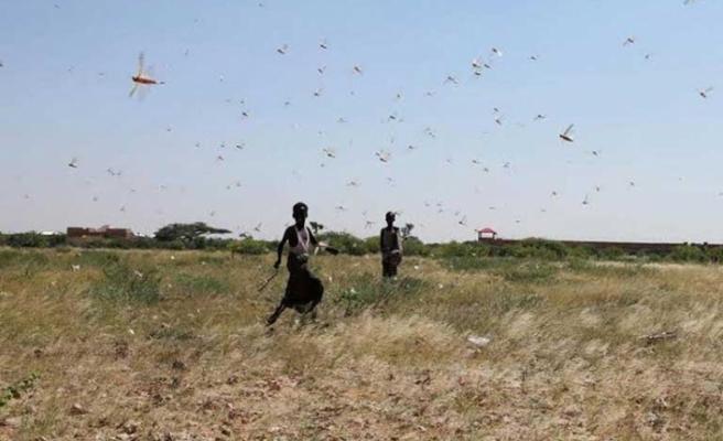 Somalililer, son 25 yılın en kötü çekirge istilasıyla onları yiyerek savaşıyor