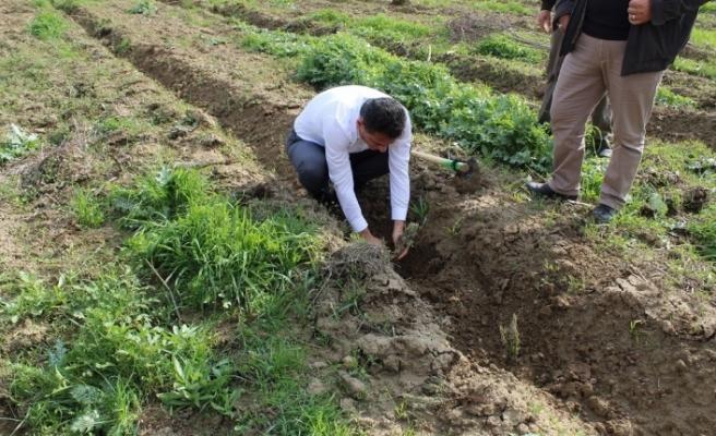 Lavanta bahçeleri oluşturuluyor