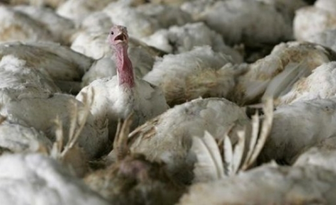 Macaristan'da kuş gribi paniği: 53 bin hindi itlaf edildi