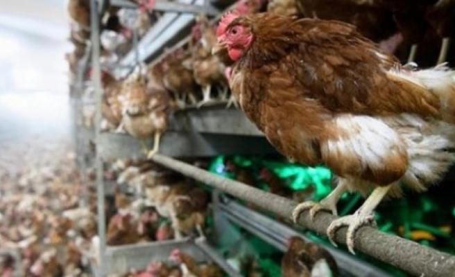 Polonya'da kuş gribi nedeniyle 100 binden fazla kümes hayvanının itlaf edildiği açıklandı
