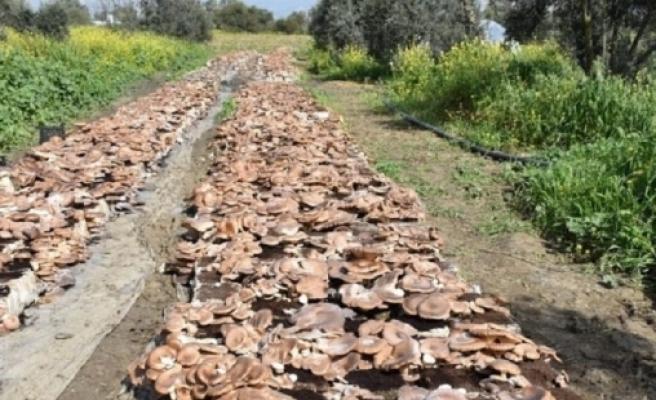 Haspolat'ta Gavcar mantarı üretiliyor