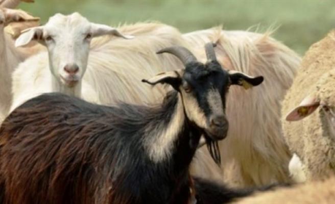 Küçükbaş hayvan başı destek ödemeleri ve süt bedelleri ödendi