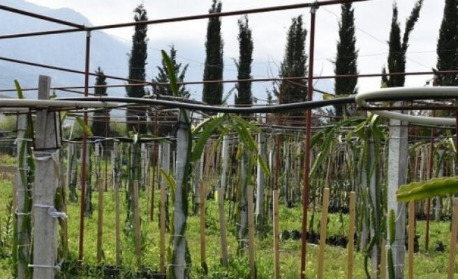 Lapta'da ejder meyvesi üretimi yapılıyor