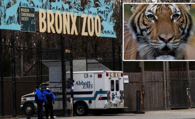 New York'ta hayvanat bahçesindeki kaplan Nadia'da Korona virüs çıktı