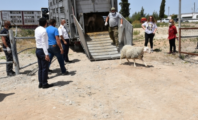 Ülkeye Asaf ırkı damızlık koyun getirildi